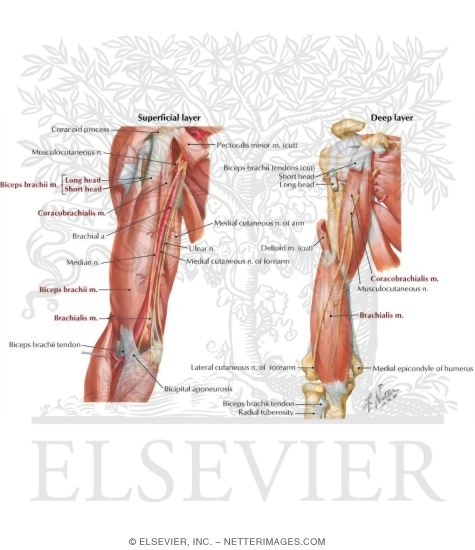 Arm: Anterior Compartment Muscles and Nerves