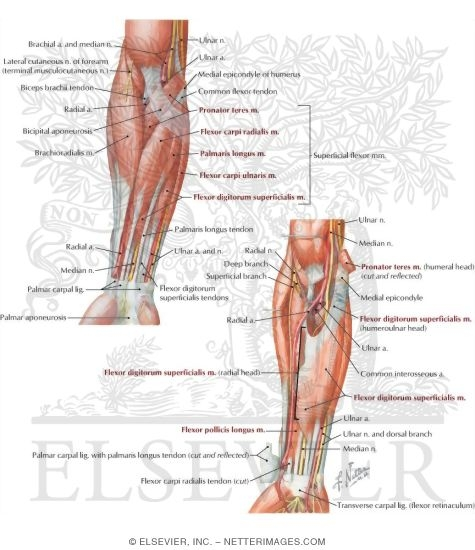 Anterior Compartment Forearm Muscles and Nerves