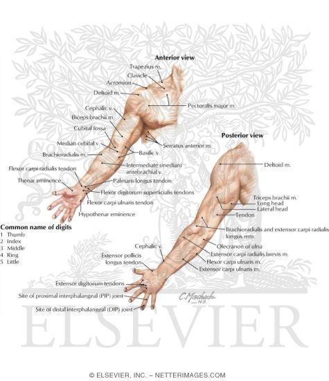 Upper Limb: Surface Anatomy
