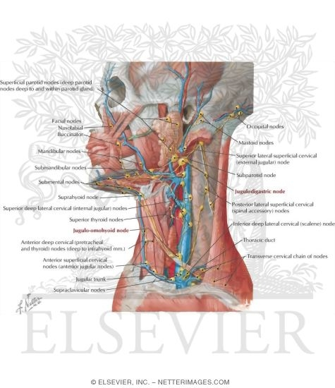 Lymph Vessels and Nodes of Head and Neck Lymphatic Drainage of Mouth ...