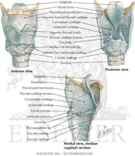 larynx anatomy netter - photo #14