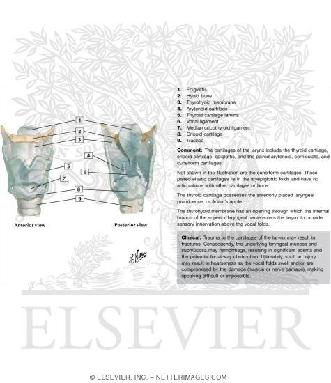 larynx anatomy netter - photo #43