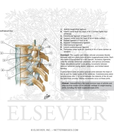 Costovertebral Joints
