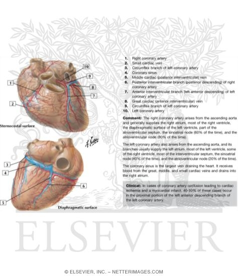 Arteries And Veins Of The Heart Coronary Arteries And Cardiac Veins