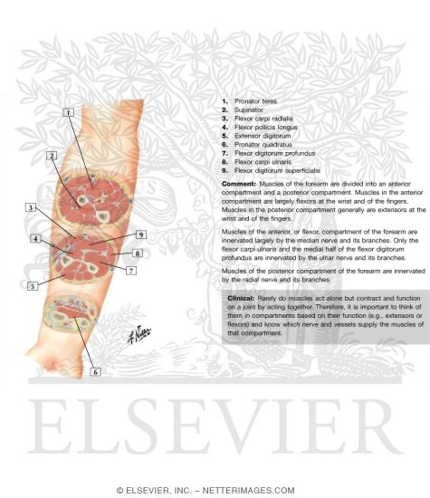 Cross-Sectional Anatomy of Right Forearm