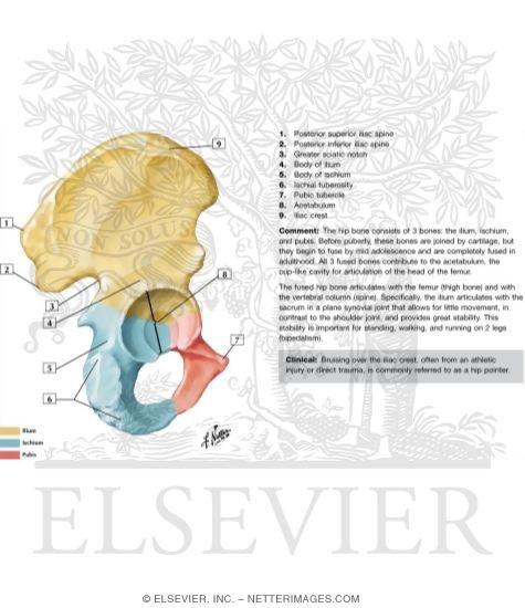 coxal bone, Cephalic Vein