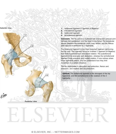 Hip Joint: Anterior and Posterior Views