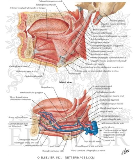 Muscles Controlling the Tongue Tongue