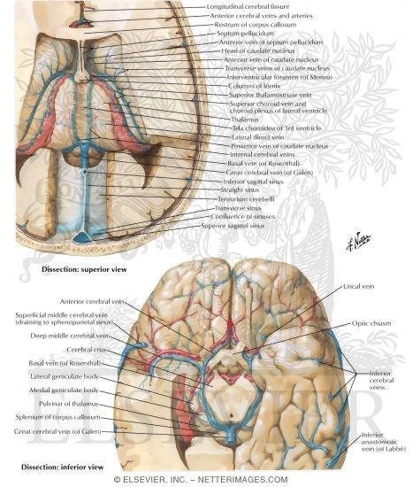 Deep Veins of Brain