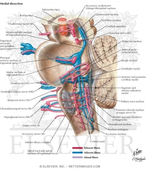 Cranial Nerve Nuclei in Brainstem: Schema