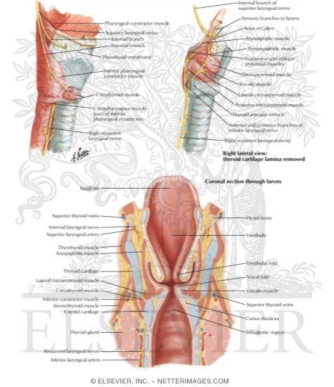 Nerves of Larynx