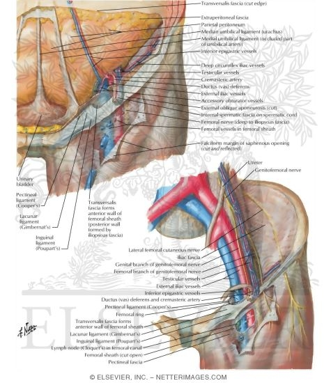 Femoral Sheath and Inguinal Canal Inguinal Canal