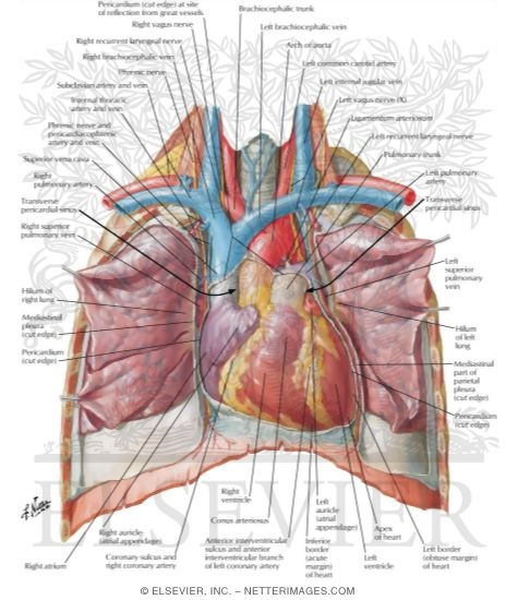 Heart: Anterior Exposure Position of the Heart-Right Ventricle Anterior
