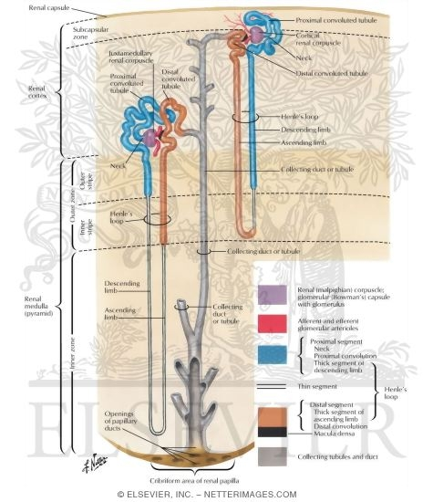 Illustration of Anatomy of the Nephron Nephron and Collecting Tubule: Schema The Nephron from the Netter Collection