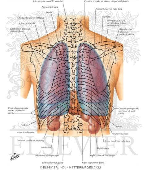 Atlas Of Human Anatomy 2nd Edition