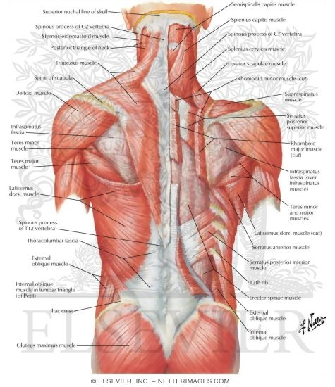 muscles of back: superficial layers superficial muscles: posterior, Human Body