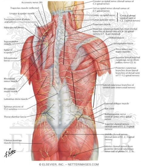 nerves of back, Human Body