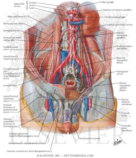 Nerves Of External Genitalia Male Innervation Of Genitalia
