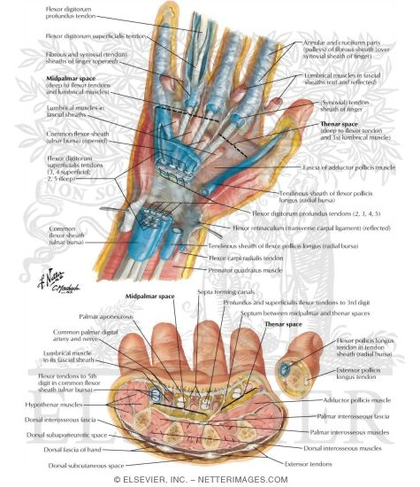 Spaces, Bursae, and Tendon and Lumbrical Sheaths of Hand Bursae ...