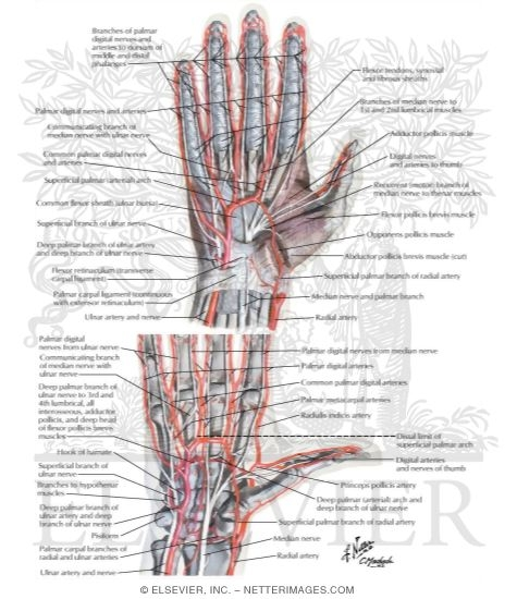Blood and Lymph Vessels Arteries and Nerves of Hand: Palmar Views