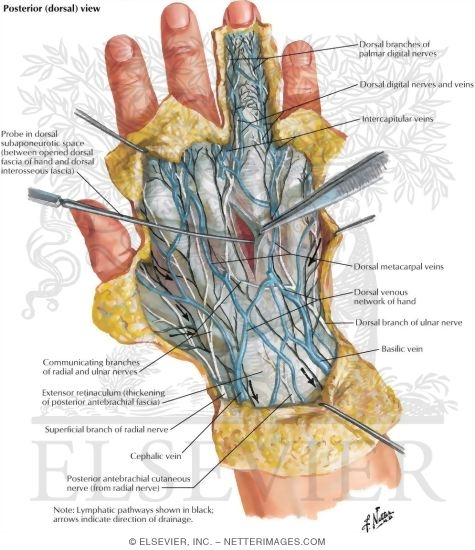 Skin And Subcutaneous Fascia Of The Hand Wrist And Hand Superficial