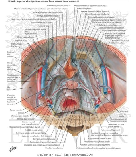 Endopelvic Fascia and Potential Spaces Pelvic Fascia and Perineopelvic  Spaces Peritoneum