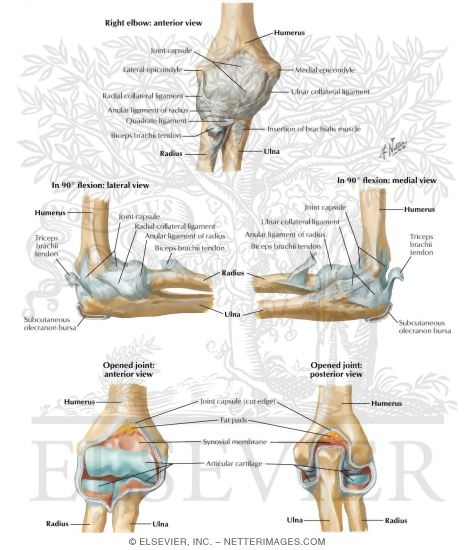 Ligaments of Elbow