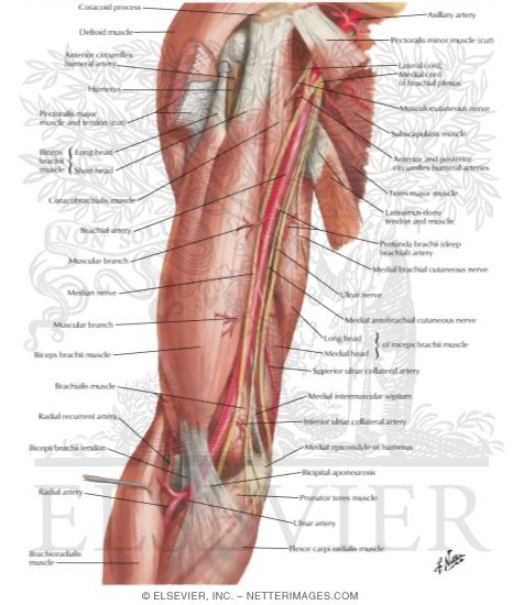artery in situ, Human body