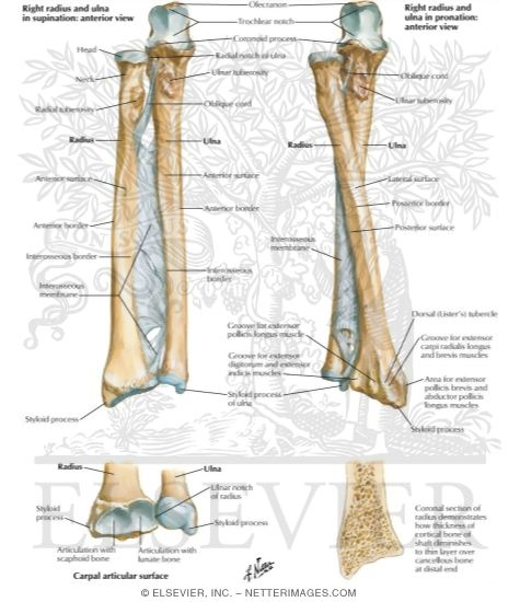 bones of forearm osteology of the forearm, Cephalic Vein