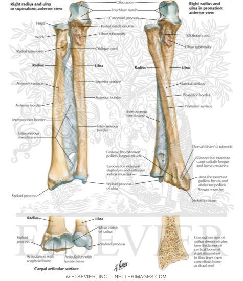 bones of forearm osteology of the forearm, Cephalic Vein