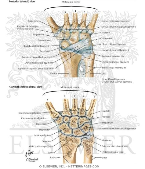 Ligaments of Wrist Vertical Section thorugh Wrist Joints Joints
