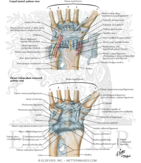Ligaments Of Volar Aspect Of Wrist With Transverse Carpal Ligament