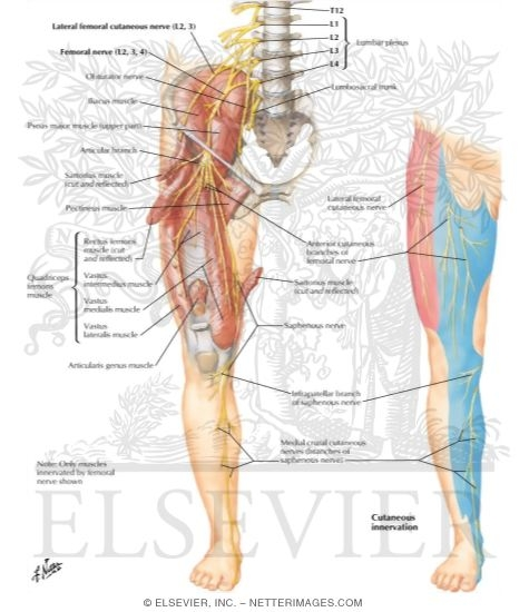 femoral nerve and lateral femoral cutaneous nerves, Muscles