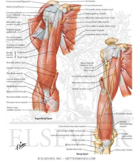 Arm Muscles With Portions of Arteries and Nerves Muscles of Arm ...