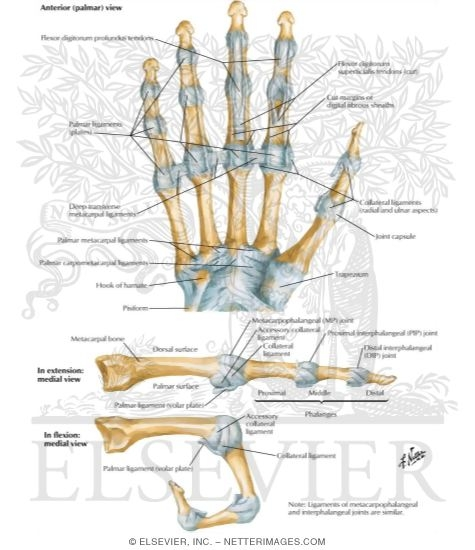 Metacarpophalangeal and Interphalangeal Ligaments ...