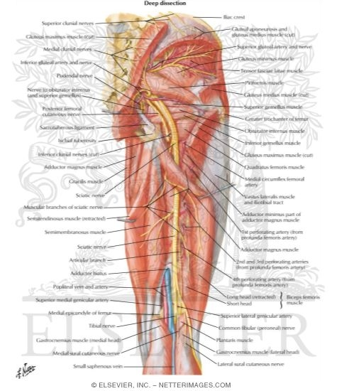 And Nerves Of Thigh Deep Dissection Posterior View Arteries And