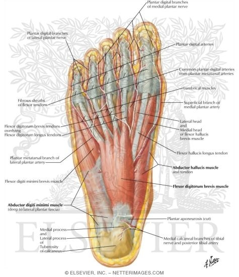of sole of foot: first layer, Human Body