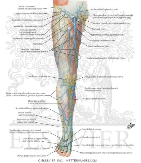Nerves And Veins Of Lower Limb Anterior View