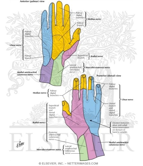 Cutaneous Nerves Of Wrist And Hand