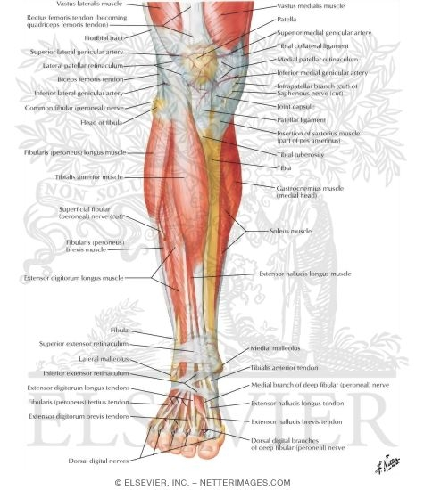 Of Leg Superificial Dissection Anterior View