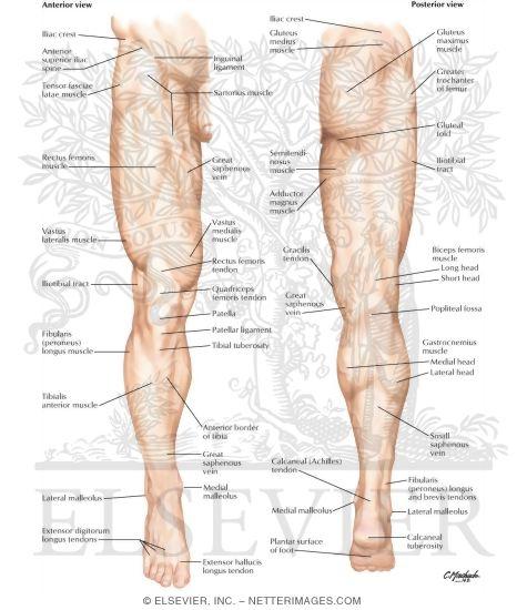Lower Limb Surface Anatomy