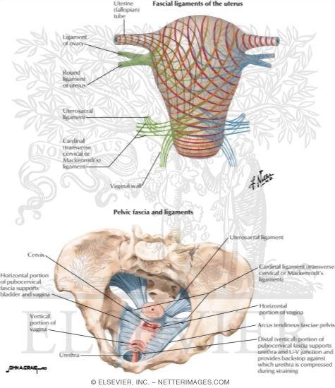 Uterus: Fascial Ligaments