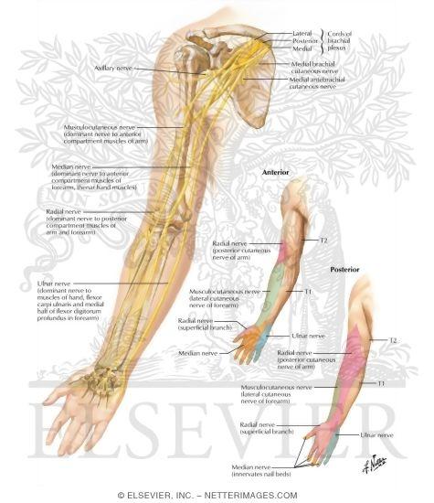 Nerves Of Upper Limb