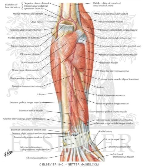 Muscles Of Forearm Deep Layer Posterior View