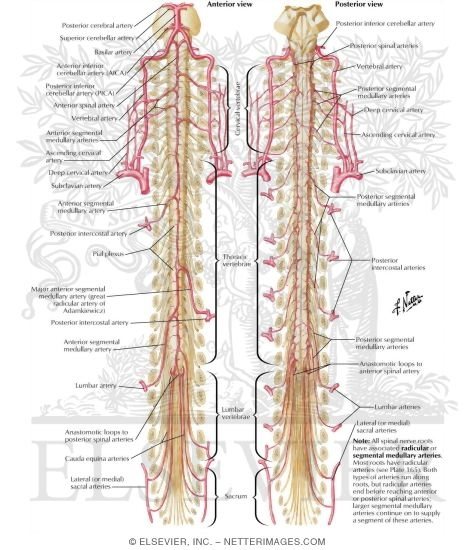 Arteries of Spinal Cord: Schema