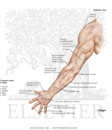 Upper Limb: Surface Anatomy