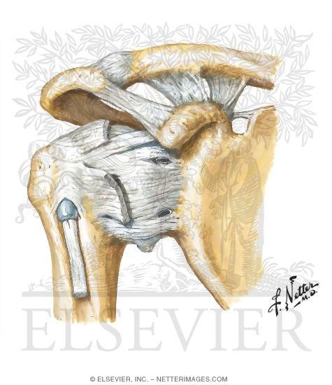 Shoulder Ligaments: Anterior View
