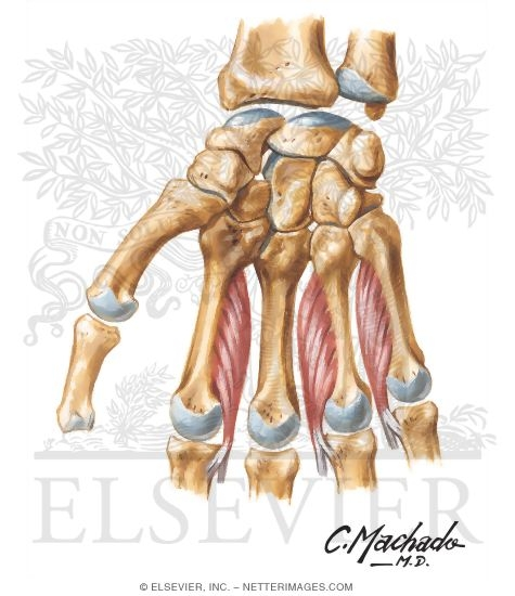 Intrinsic Muscles of Hand http://www.netterimages.com/image/50530.htm