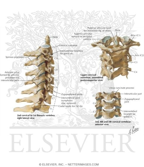 Of The Cervical Spine