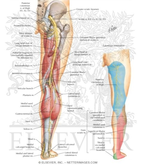sciatic nerve (l4, l5; s1, s2, s3) and posterior femoral cutaneous, Muscles